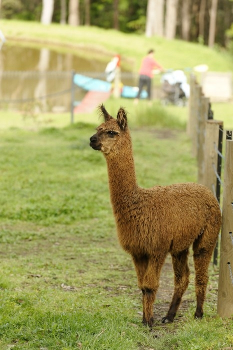 Denton the Alpaca