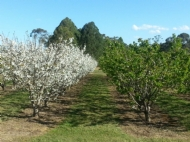 Local fruit trees in bloom